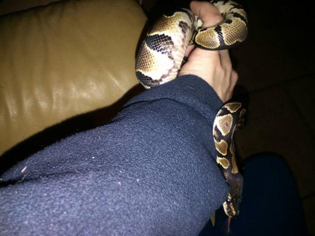Shiva ... Mon python regius! 12734110