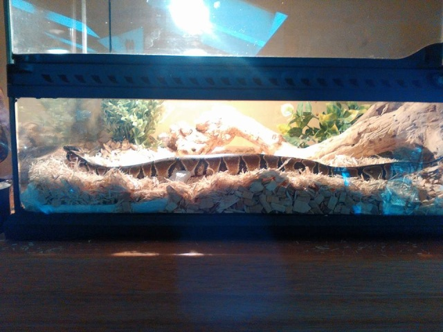 Shiva ... Mon python regius! 12743910