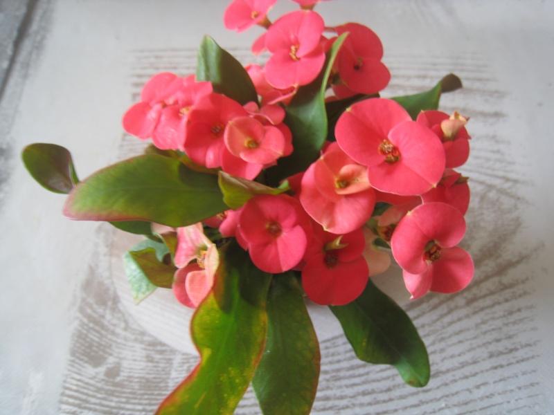 petite plante - Euphorbia milii  01010