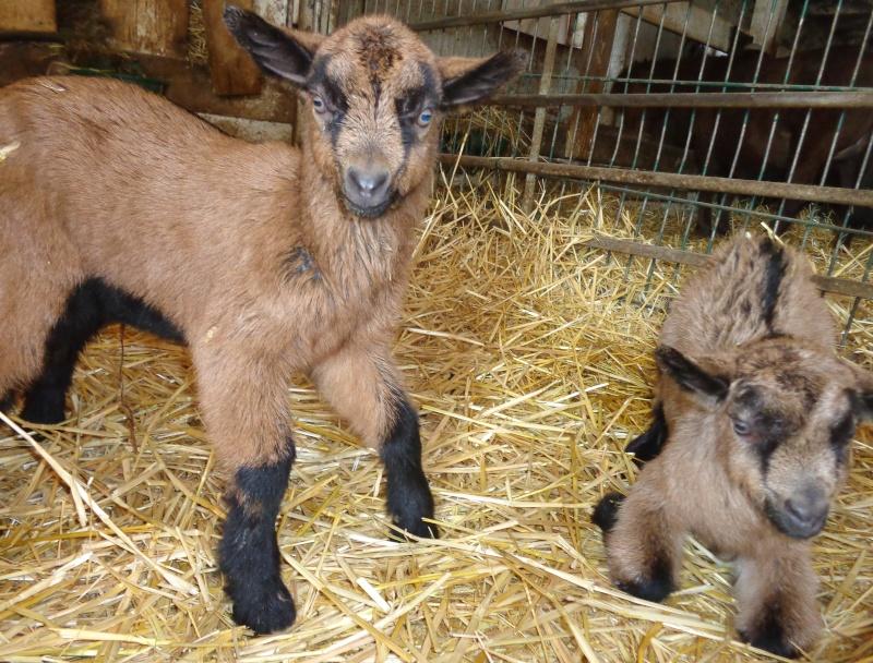 Césarienne d'urgence sur une chèvre Dsc01913