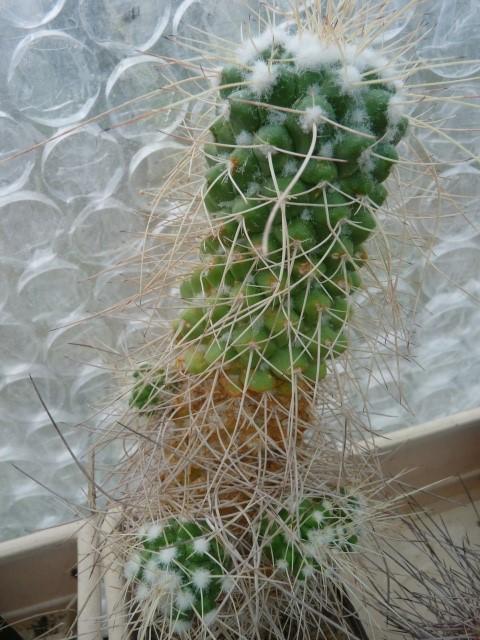 Mammillaria spinosissima cv. 'Un Pico' Mamila10
