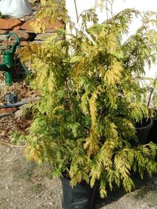 Thuja plicata - thuya géant de Californie Thuya_11