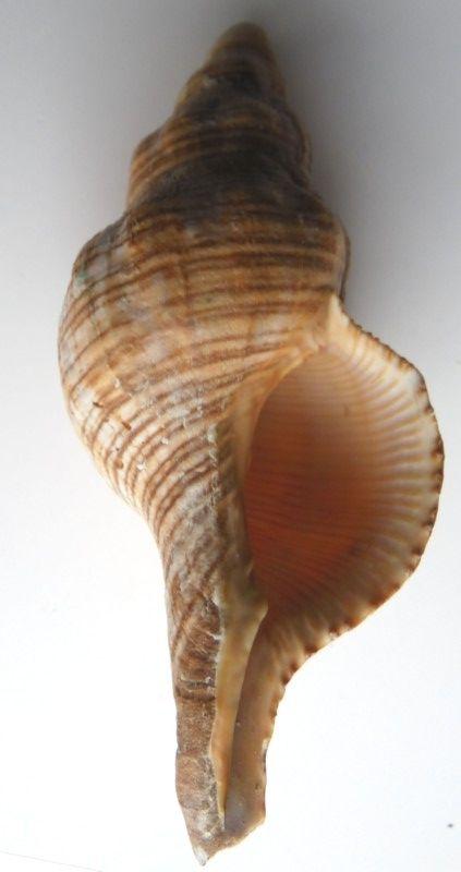 Filifusus filamentosus (Röding, 1798) roulé? - 100mm 12b10