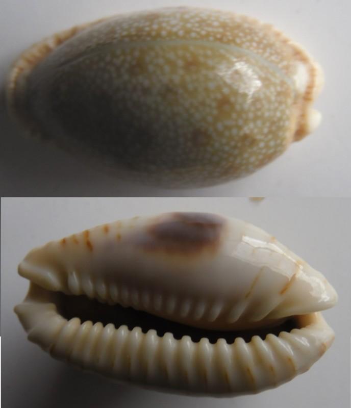 Erosaria erosa (Linnaeus, 1758)  26-40m10