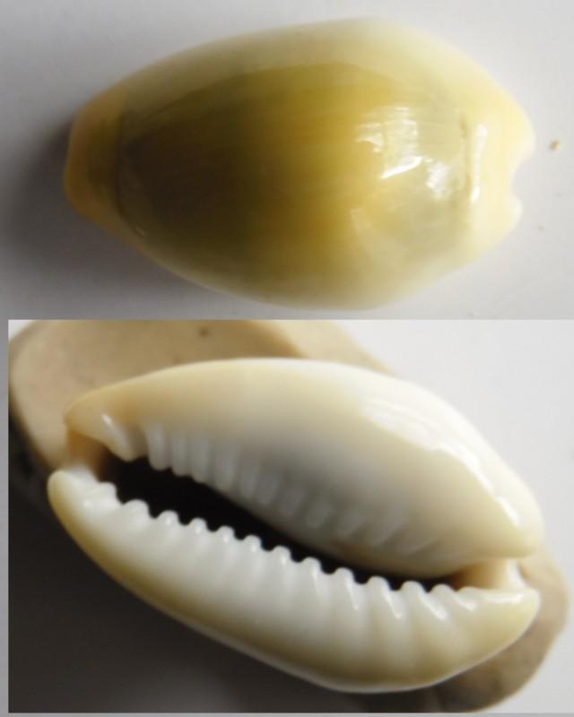 Monateria moneta (Linnaeus, 1758)  29-25m10