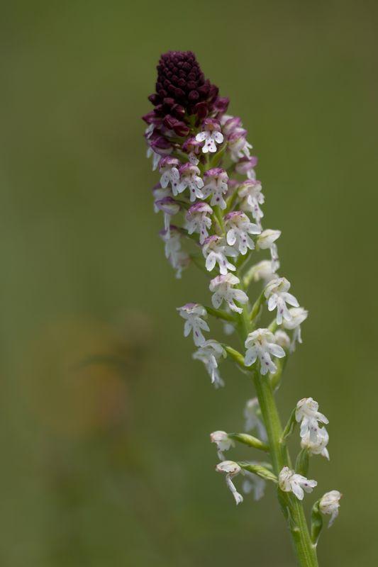 Neotinea ustulata subsp . aestivalis ( Orchis brûlé d'été ) 210