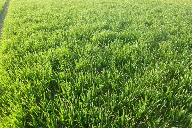parcelle de blé à 150gr/m2 P1020419
