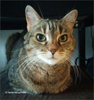 ZINA chatte tigrée de 11 ans Image110