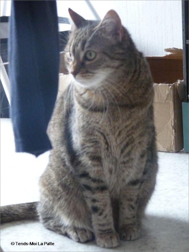 ZINA chatte tigrée de 11 ans Image115