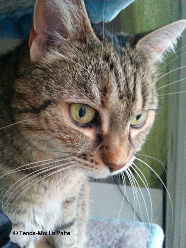 ZINA chatte tigrée de 11 ans Image116