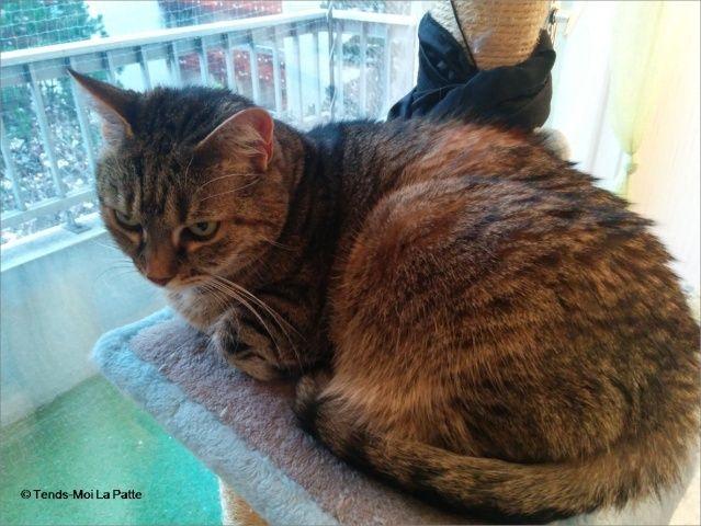 ZINA chatte tigrée de 11 ans Image117