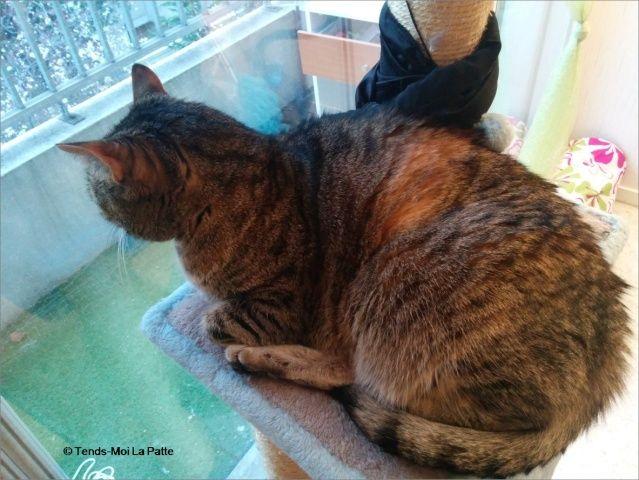 ZINA chatte tigrée de 11 ans Image118