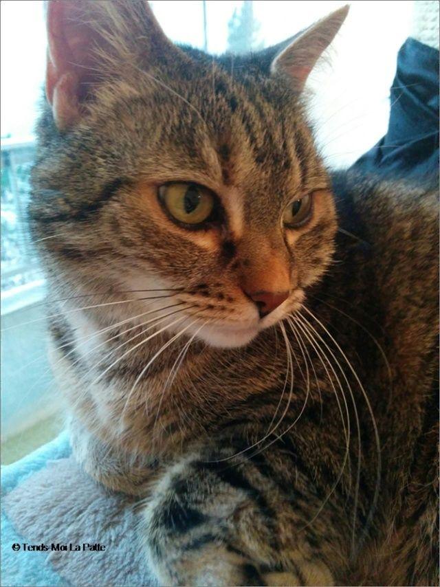 ZINA chatte tigrée de 11 ans Image121