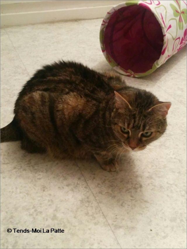 ZINA chatte tigrée de 11 ans Image210