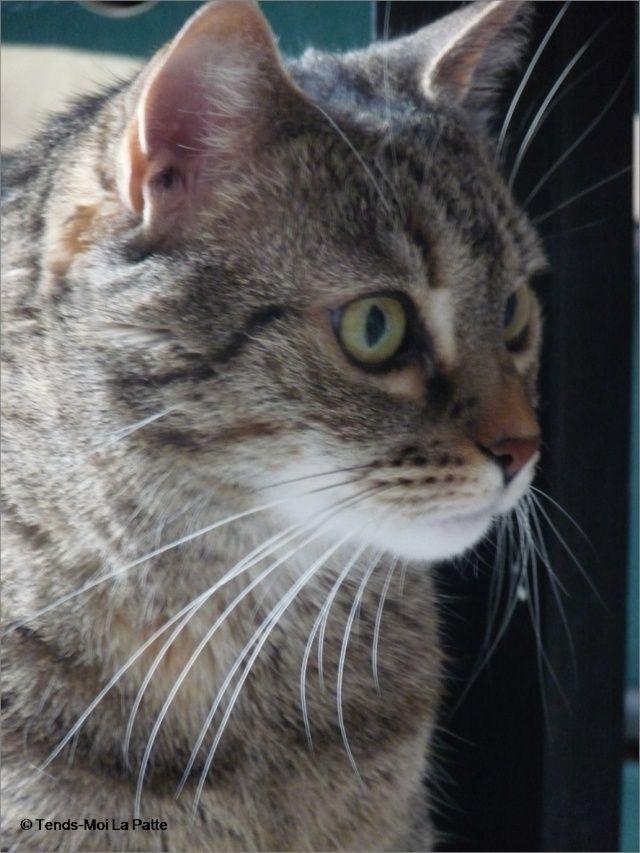 ZINA chatte tigrée de 11 ans Image211
