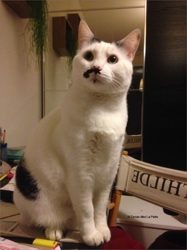 CHAT A ADOPTER : HALLY - chat mâle de 5 ans Image214
