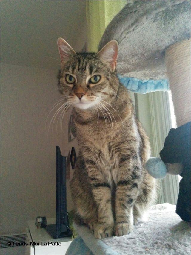 ZINA chatte tigrée de 11 ans Image810