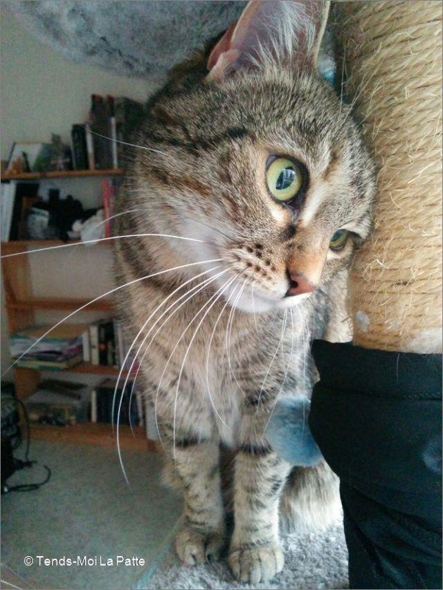 ZINA chatte tigrée de 11 ans Image910