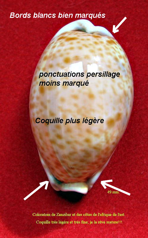 Lyncina lynx - (Linnaeus, 1758) - Est afrique P_lyn810