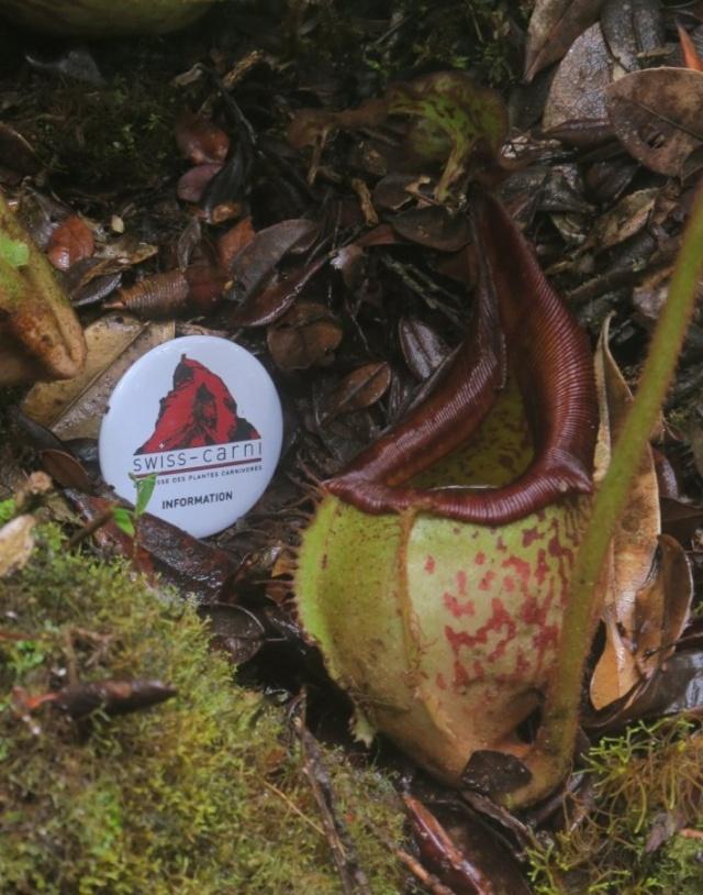Nepenthes hamata et eymae - Swiss carni!!! Eymae_10