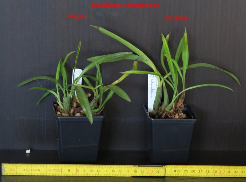 Nepenthes et orchidées à vendre Maxill10
