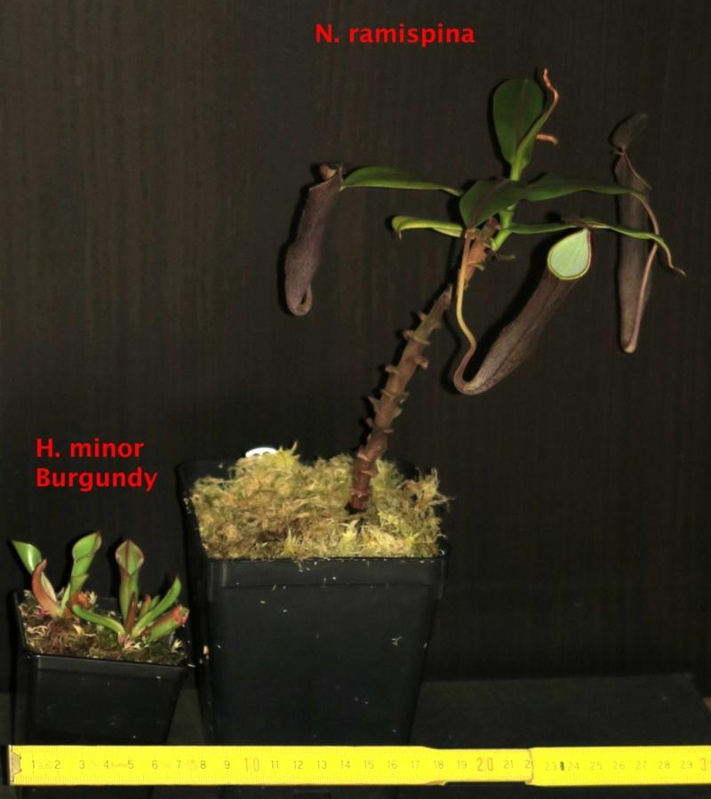 Nepenthes et orchidées à vendre Minor_10