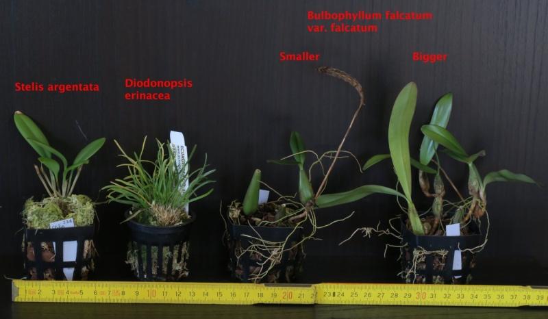 Nepenthes et orchidées à vendre Stelis10