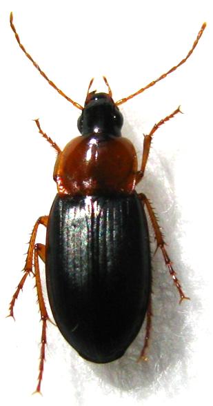 Calathus melanocephalus LINNE 1758 Screen10
