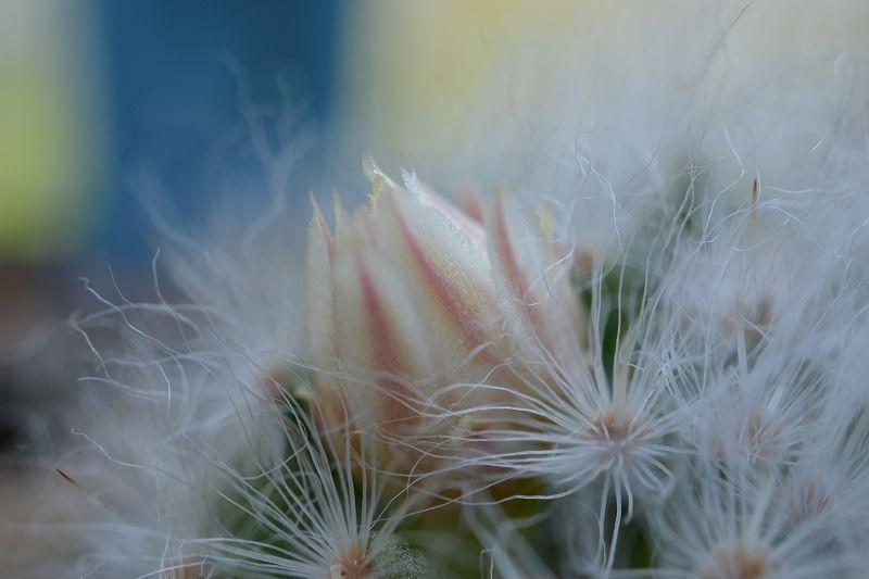 Mammillaria albicoma  K-albi10