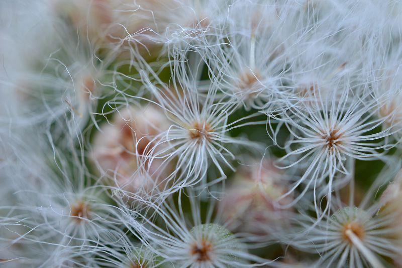 Mammillaria albicoma  K-albi11