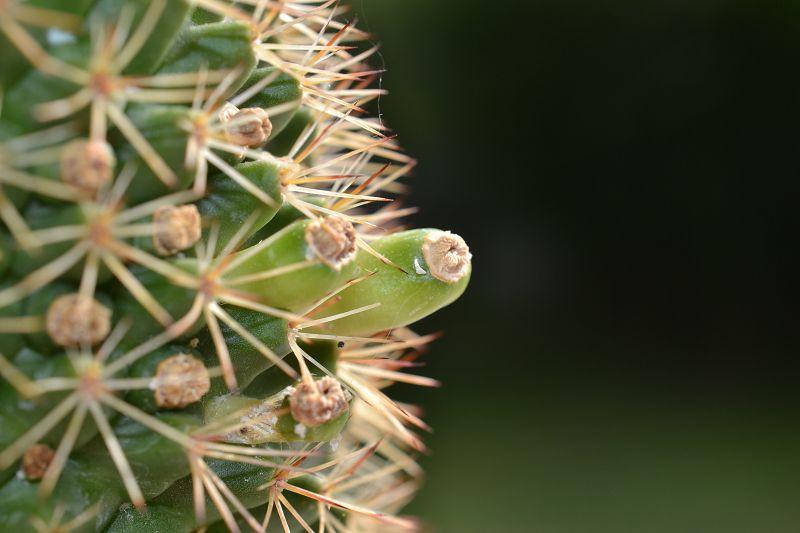 Mammillaria backebergiana var. ernestii 'Albiflora' K-erne10