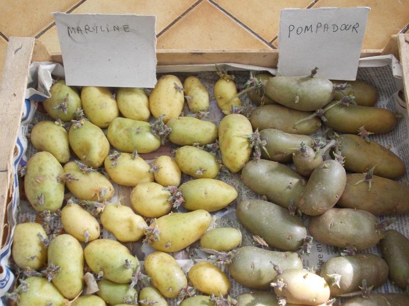 Bien faire germer les plants de pomme de terre Dscn9119