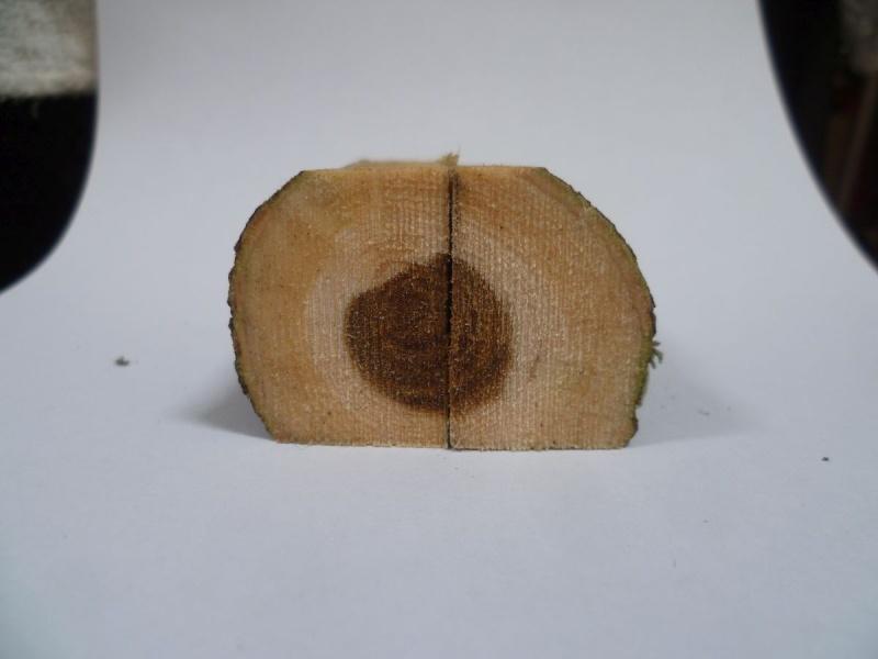Cercis siliquastrum (Arbre de Judée) Essai_15