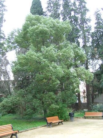 Cinnamomum camphora - camphrier - Page 3 Dscf9515