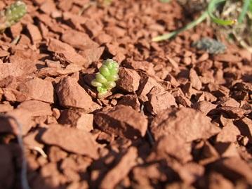Sedum acre - orpin brûlant, poivre des murailles  Dscf9613
