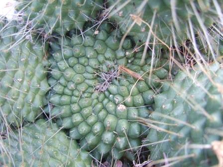 Mammillaria spinosissima cv. 'Un Pico' Dscf9715