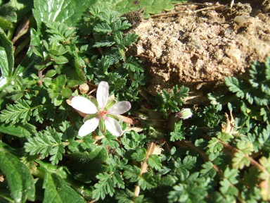 Erodium cicutarium - érodium à feuilles de ciguë, bec-de-grue Dscf9717