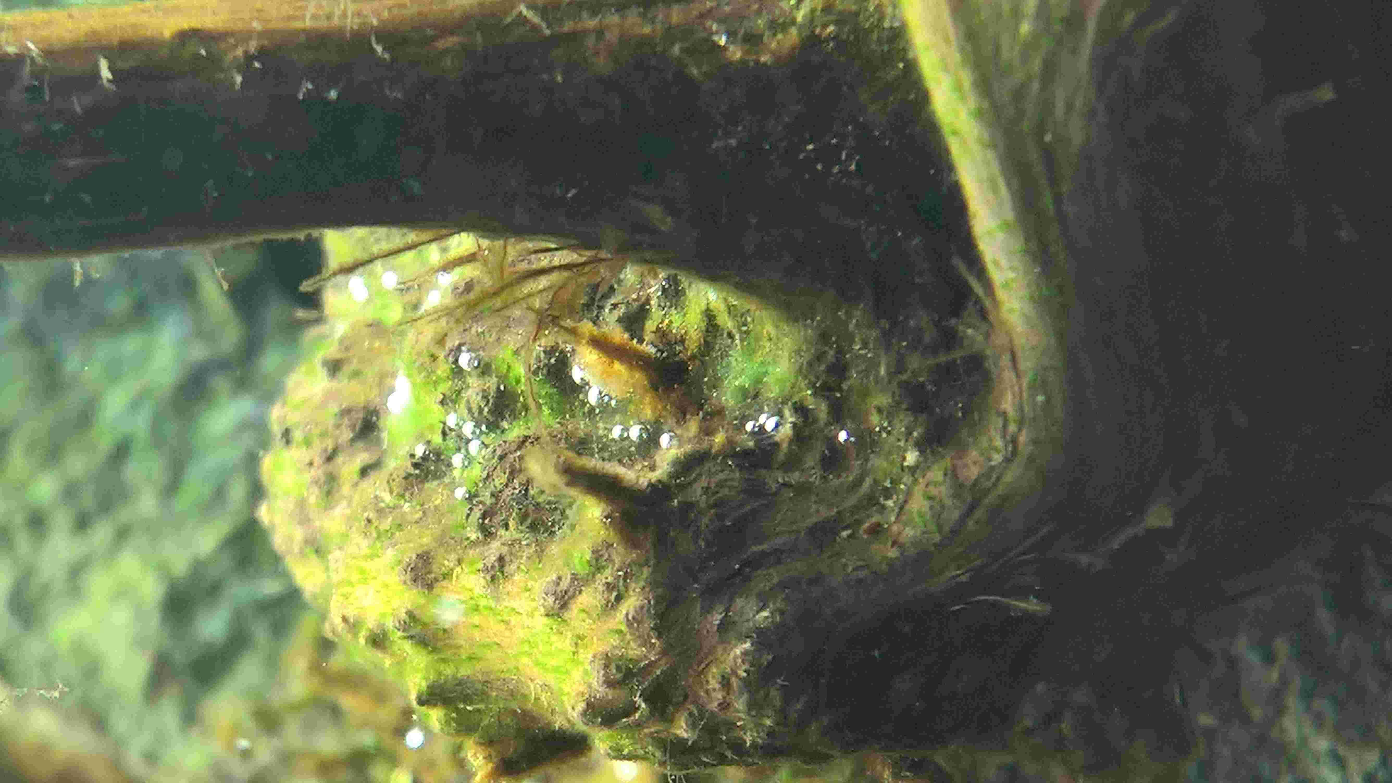 [projet en cours] Bac afri-hollandais - Hemichromis lifalili Wp_20111