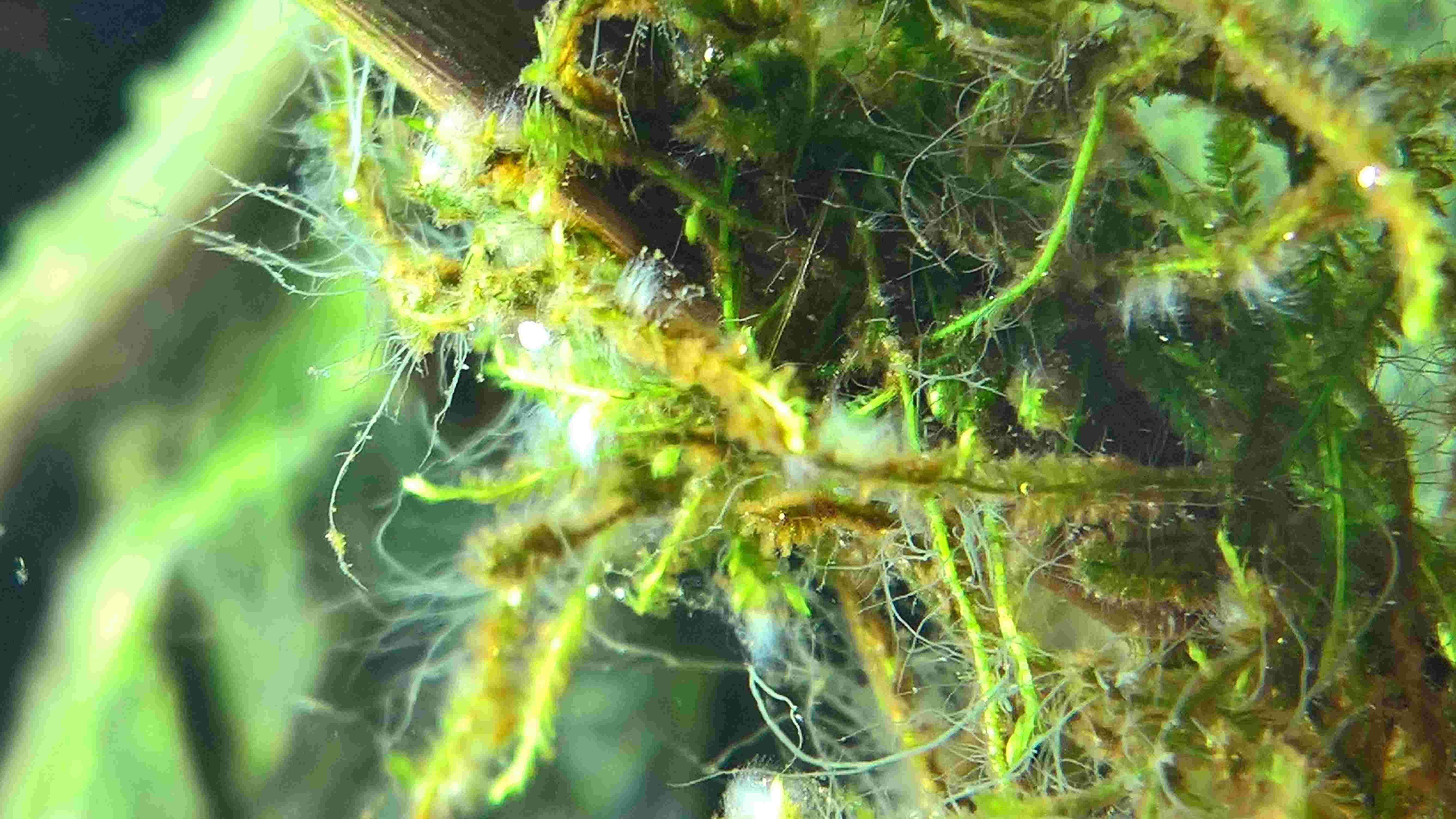 [projet en cours] Bac afri-hollandais - Hemichromis lifalili Wp_20112