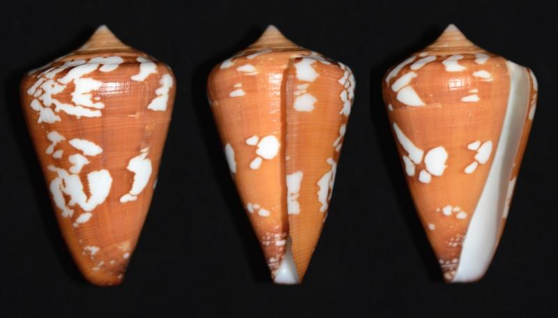 Conus (Darioconus) crocatus   Lamarck, 1810 - Page 5 Crocat11