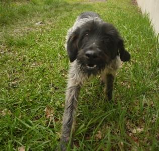 BANZAI Korthal, noir/gris 3 ans  (2 ans de refuge) -  SPA LE RAMIER DE MONTAUBAN (82) 45274310