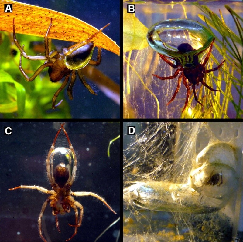The Incredible Spider That Lives Its Entire Life Underwater F1_lar10