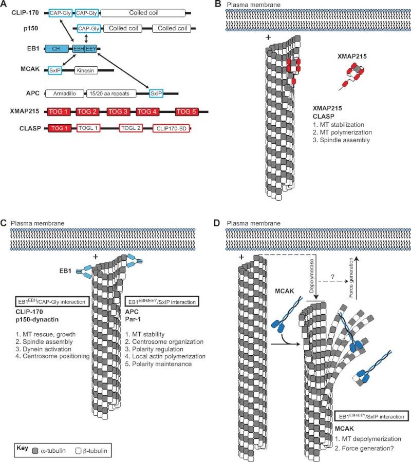 Molecular pathways regulating mitotic spindle orientation in animal cells F2_lar10