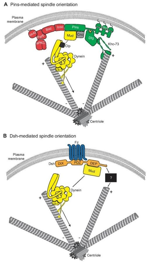 Molecular pathways regulating mitotic spindle orientation in animal cells Sem_ty15