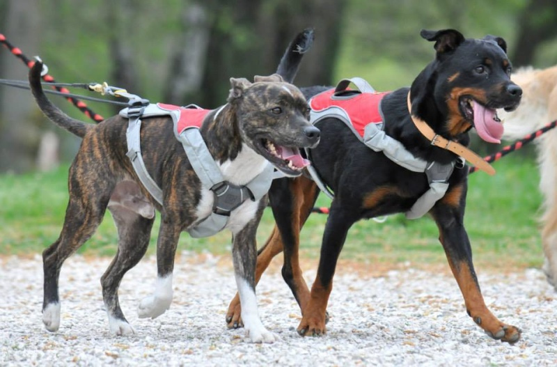 Team Ptit'LU et les sports canins : canirandonnée canicross canivtt canitrottinette 10346212