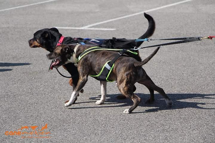Team Ptit'LU et les sports canins : canirandonnée canicross canivtt canitrottinette 10401512