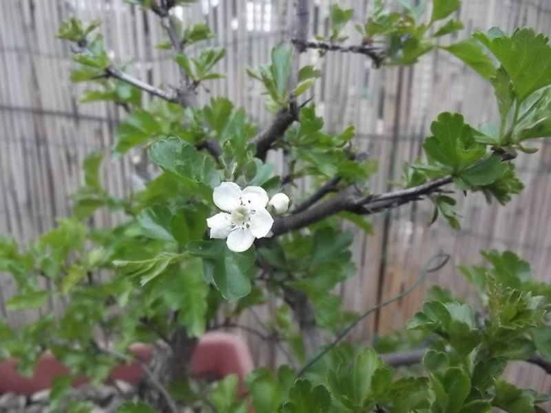 prime fioriture stagionali - Pagina 2 Ab10