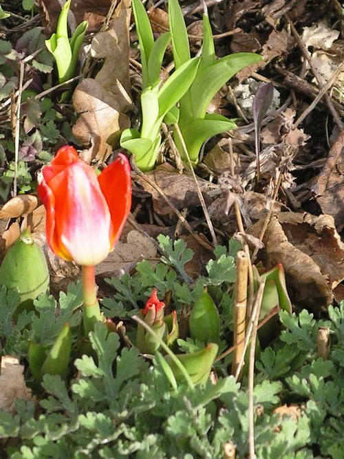 tulipes Imgp0010