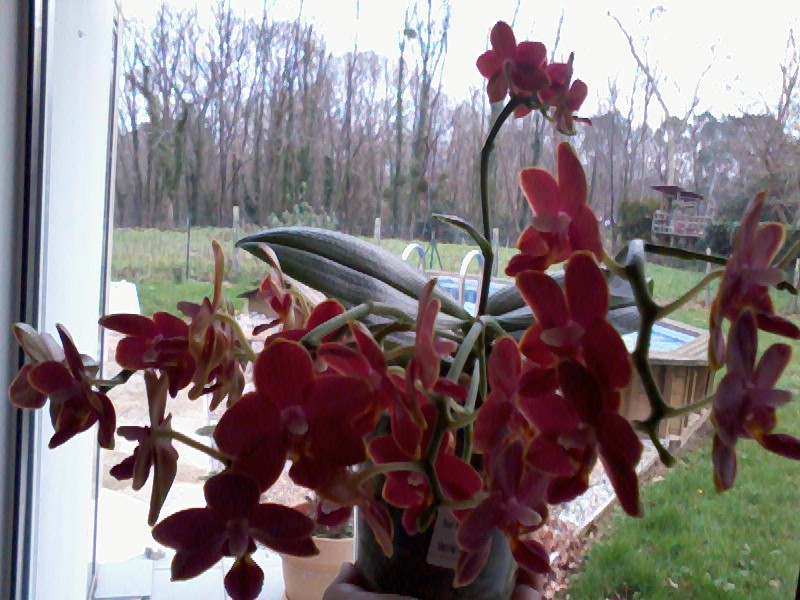 phalaenopsis tying shin phoenix Photo034