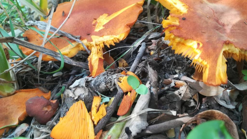 Identifier des champignons. Img_2090